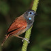 Small photo of Chestnut-winged Babbler, Danum Valley, Borneo