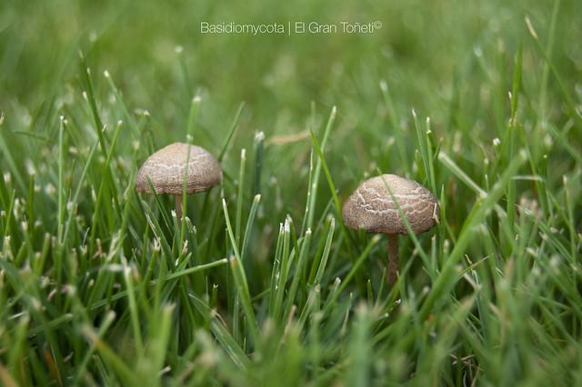 Basidiomycota peque os hongos en el jard n de cuatro for Hongos en el jardin