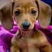 Big eared Dachshund Puppy - Mick