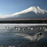 Swans Bathing in Mt Fuji Reflection