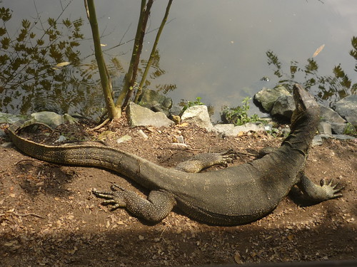 Malayan water monitor (Varanus salvator)