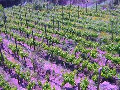 """Viñalolen: Microviñas orgánicas de jardín en la """" comunidad Ecologica"""""""