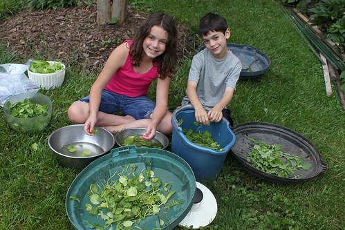 kids, washing lettuce and spinach
