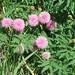 Mimosa quadrivalvis - Photo (c) John Lillis, algunos derechos reservados (CC BY-NC-ND)
