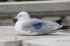 Sea Gull with blue tag