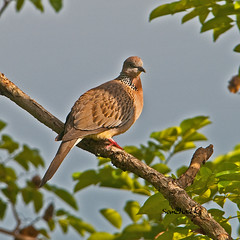 เขาใหญ่(เขาหลวง) Spotted Dove
