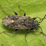 homoki feketésbodobács - Peritrechus nubilus