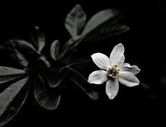 Обои цветок, листья, чёрное, белое. цветок, листья, чёрное, белое.