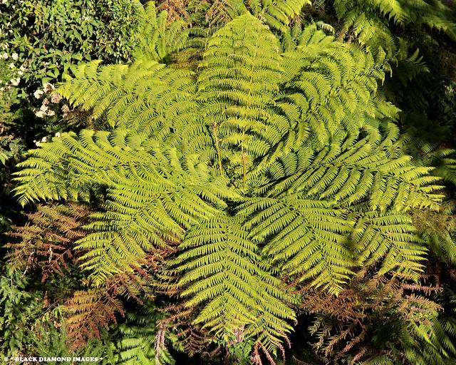 Dicksonia antarctica - Soft Treefern, Man Fern, Tasmanian Tree Fern