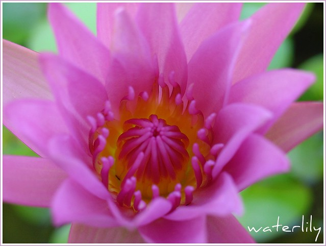 Flower Meanings Water Lily Pink Water Lily Meaning