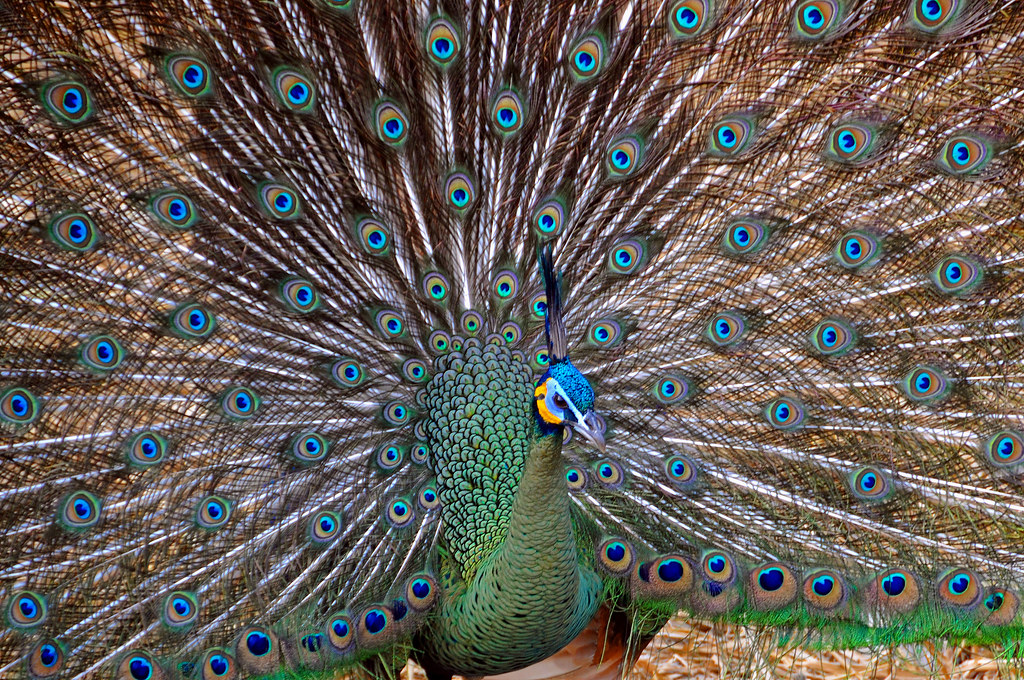Green Peafowl - Photo (c) Dennis Jarvis, some rights reserved (CC BY-SA)