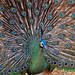 Peafowl - Photo (c) Dennis Jarvis, some rights reserved (CC BY-SA)