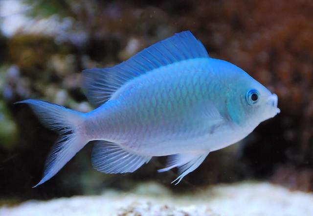 Green Chromis reef aquarium fish Flickr - Photo Sharing!