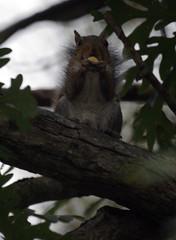 Squirrel at Bennett's Creek Park
