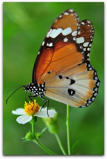 The Plain Tiger (Danaus chrysippus)
