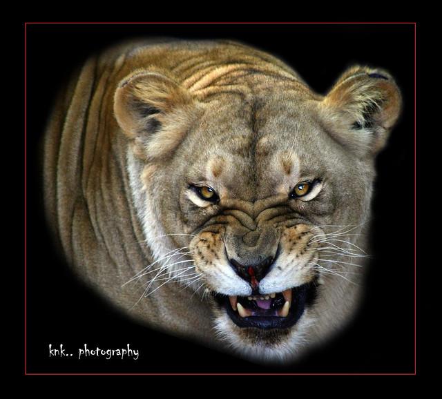 Leona (Panthera leo)