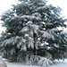 Small photo of Fir Tree