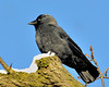 Jackdaw standing to attention