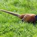 Small photo of Pheasant (Phasianus colchicus)