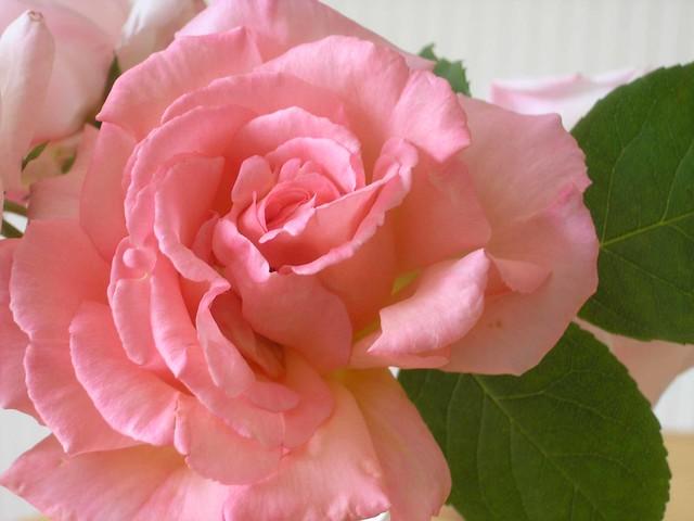 compassion climbing rose flickr photo sharing. Black Bedroom Furniture Sets. Home Design Ideas