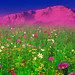 A Field of Flowers in front of the Rocky Mountains, Pikes Peak, Colorado Springs, CO