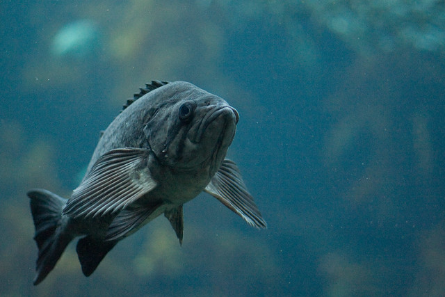 Grumpy fish in the kelp forest at monterey aquarium by for Grumpy s fishing report