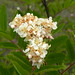 Sitka Mountain-ash - Photo (c) Peter Stevens, some rights reserved (CC BY)