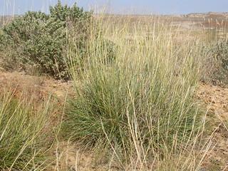 Sporobolus airoides