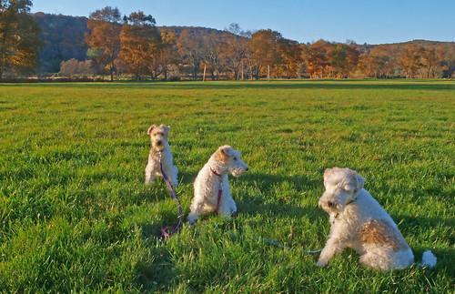 chien hund perros wirehair threedogs threefoxterriers