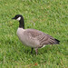 Cackling Goose - Photo (c) Jamie Chavez, some rights reserved (CC BY-NC)