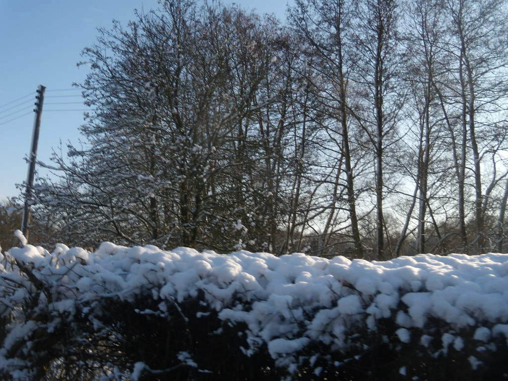 Hedge in the snow Hever to Leigh