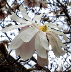 flower, branch, magnolia, tree, macro photography, flora, close-up, spring, petal, twig,