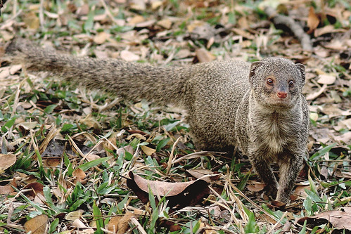 Common Mongoose by Delip Das Bisharga