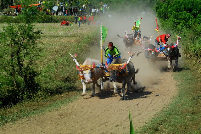 Buffalo Races in Negara – Experience a traditional event