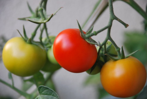 Green, orange and red tomatoes