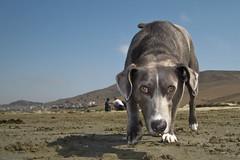 dog sports(0.0), animal sports(0.0), whippet(0.0), galgo espaã±ol(0.0), sports(0.0), animal(1.0), hound(1.0), dog(1.0), pet(1.0), street dog(1.0), mammal(1.0), greyhound(1.0),