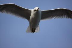 sea gull toronto-1