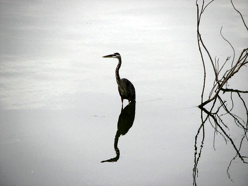 Heron Reflection 2 by paynehollow