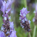 Spanish Lavender - Photo (c) Jordi Roy Gabarra, some rights reserved (CC BY-NC)
