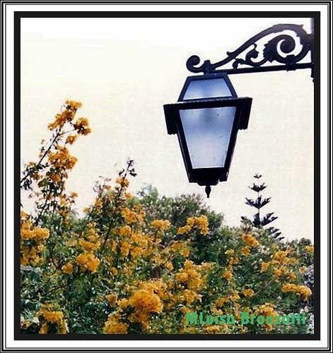 rua ipe jardim estrela:Detalhes em ferro do meu candeeiro de rua e o Ipê-de-jardim (Tecoma