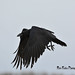 Common Raven DSC_6735 by Ronaldok