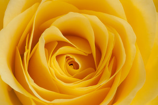 Yellow Rose | by Mister-E