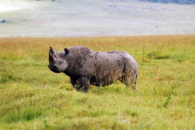 Rinoceronte negro en el cráter del Ngorongoro, Tanzania.
