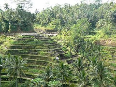 arecales, agriculture, rainforest, terrace, elaeis, jungle, biome, vegetation, plantation,