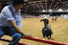 fair(0.0), barrel racing(0.0), animal sports(1.0), rodeo(1.0), cattle-like mammal(1.0), western riding(1.0), bull(1.0), event(1.0), equestrian sport(1.0), tradition(1.0), sports(1.0), performance(1.0), bull riding(1.0),