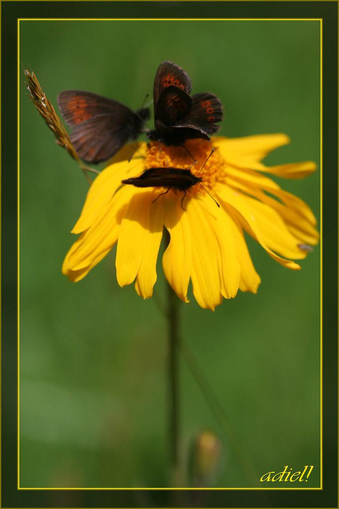 Papillons Sur Fleur Jaune Adeline Flickr