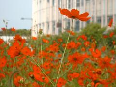 prairie(0.0), field(0.0), poppy(0.0), annual plant(1.0), flower(1.0), plant(1.0), wildflower(1.0), flora(1.0), coquelicot(1.0), meadow(1.0), petal(1.0),