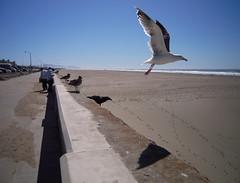 Gull Takes Flight