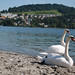 Small photo of Cisnes en Lucerna