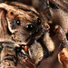 Tasmanicosa (Union-Jack Wolf Spiders)